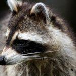 February: Raccoons and Salmon
