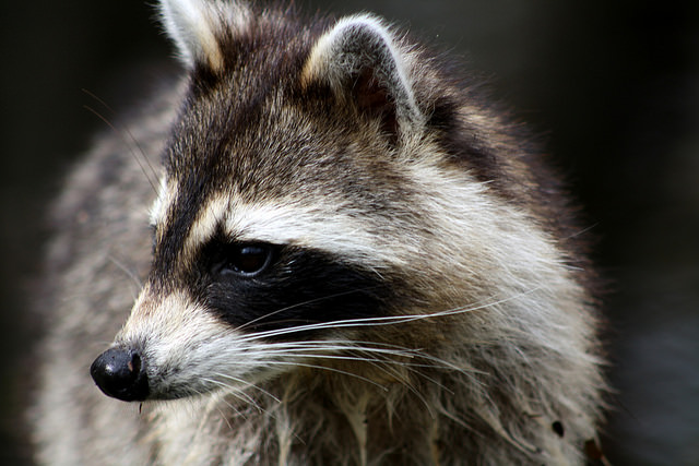 Raccoon by bigcypressnps on Flickr