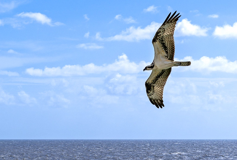 Osprey on the horizon by mikespeaks on Flickr