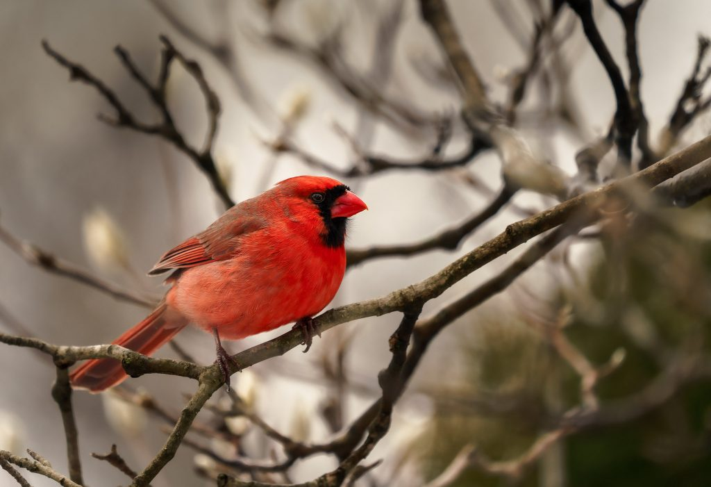 Cardinal by Alchemist X on Flickr